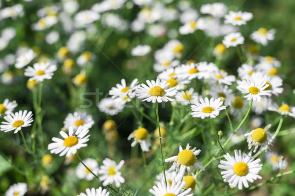 デイジーチェーン 花 浅い フィールド 草原 ヒナギク ストックフォト © Phantom1311