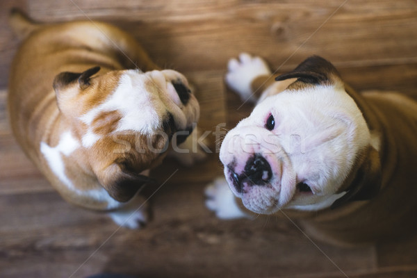 English bulldog puppies with shallow depth of field Stock photo © Phantom1311