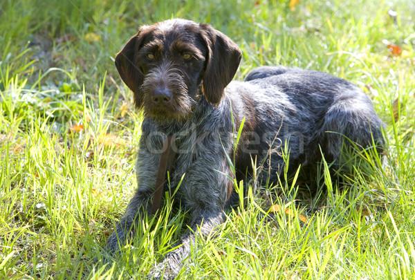 hunter's dog Stock photo © phbcz