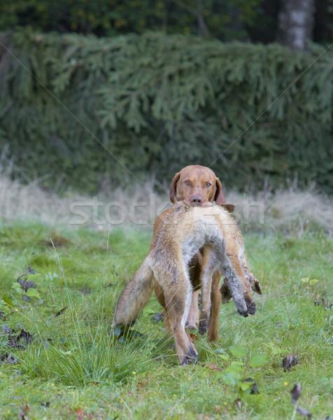 Vadászkutya zsákmány kutya fű természet táska Stock fotó © phbcz