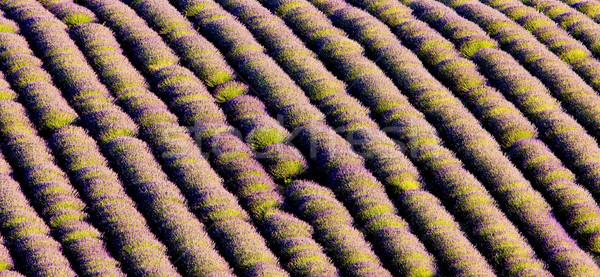 Levendula mező fennsík Franciaország virág természet háttér Stock fotó © phbcz