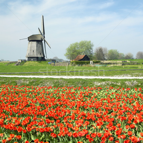 Photo stock: Moulin · à · vent · tulipe · domaine · Pays-Bas · printemps · rouge
