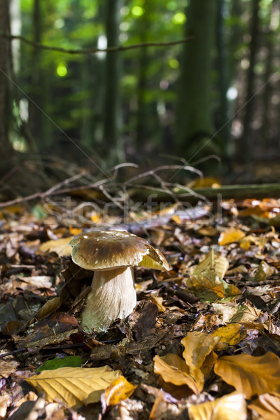 Comestível cogumelo floresta outono cair naturalismo Foto stock © phbcz