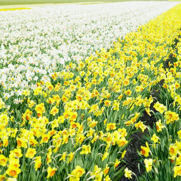 スイセン フィールド オランダ 花 春 自然 ストックフォト © phbcz