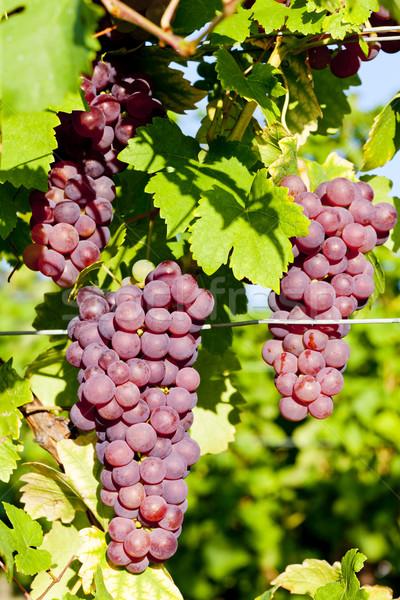 Winorośl winnicy Francja liści jesienią winogron Zdjęcia stock © phbcz