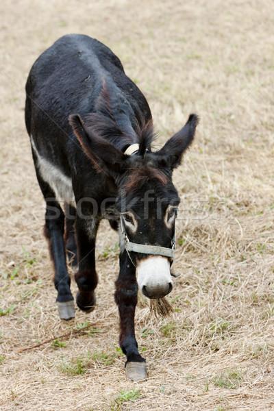 donkey, Navarre, Spain Stock photo © phbcz