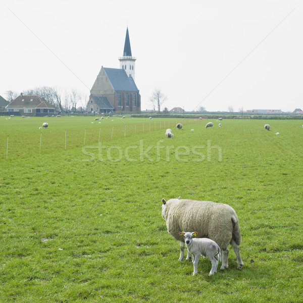 sheep with a lamb, Den Hoorn, Texel Island, Netherlands Stock photo © phbcz