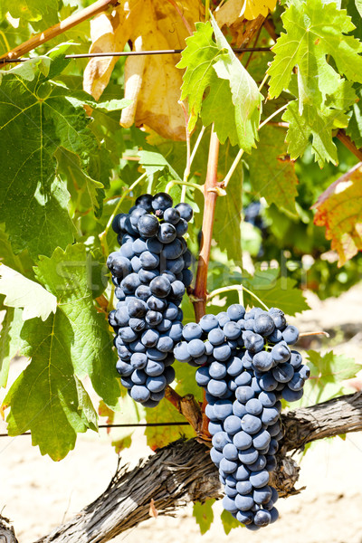 blue grapes, La Rioja, Spain Stock photo © phbcz