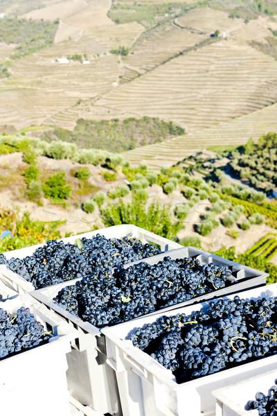 wine harvest, Douro Valley, Portugal Stock photo © phbcz