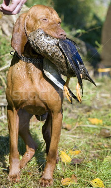 Vadászkutya zsákmány kutya táska állat kacsa Stock fotó © phbcz