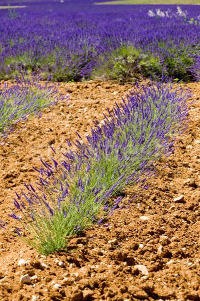 ラベンダー畑 高原 フランス 花 自然 フィールド ストックフォト © phbcz
