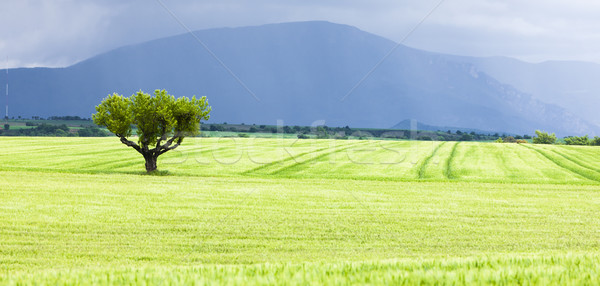 spring field with a tree, Plateau de Valensole, Provence, France Stock photo © phbcz