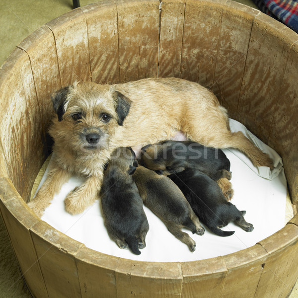 Stock photo: female dog with puppies (Border Terrier)