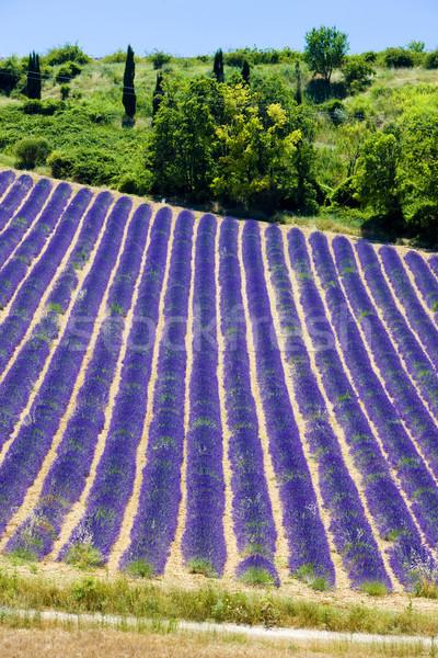 Lawendowe pole plateau Francja kwiat dziedzinie roślin Zdjęcia stock © phbcz