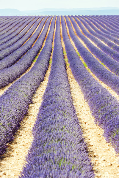 lavender field, Plateau de Valensole, Provence, France Stock photo © phbcz
