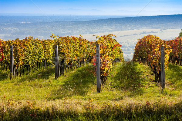 view of autumnal vineyards near Palava, Czech Republic Stock photo © phbcz
