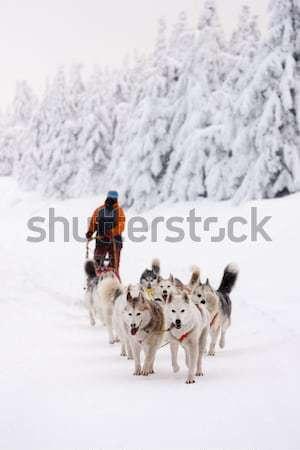 Sanki długo Czechy psa sportu śniegu Zdjęcia stock © phbcz