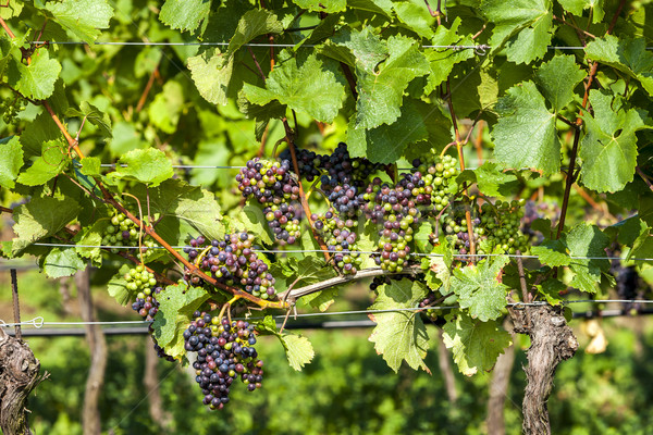 unripe blue grapes in vineyard, Lower Austria, Austria Stock photo © phbcz