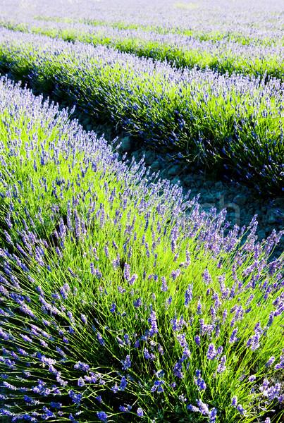 ラベンダー畑 部門 フランス 花 自然 背景 ストックフォト © phbcz