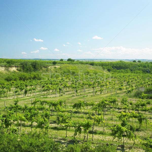 виноградник регион Чешская республика пейзаж растений сельского хозяйства Сток-фото © phbcz