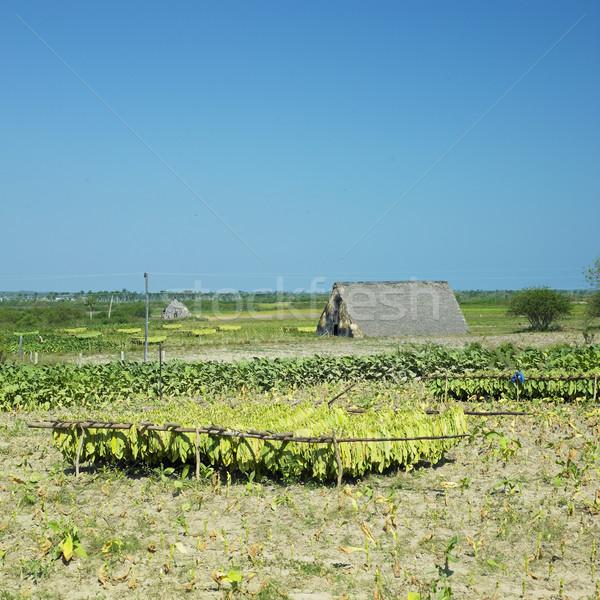 табак урожай области листьев завода сельского хозяйства Сток-фото © phbcz