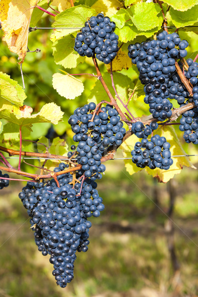 blue grapes in vineyard, Southern Moravia, Czech Republic Stock photo © phbcz