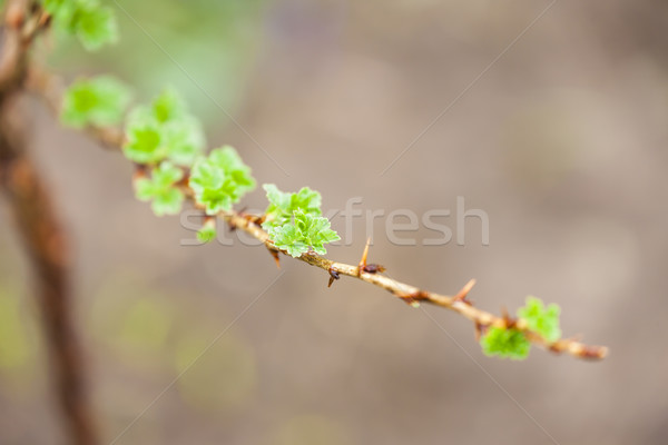 Branche Bush printemps nature feuille vert Photo stock © phbcz
