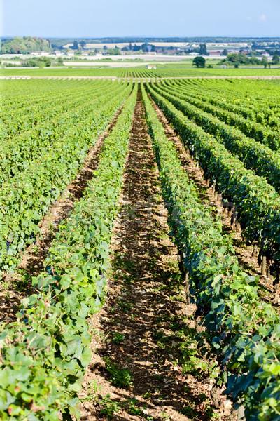vineyard, Burgundy, France Stock photo © phbcz