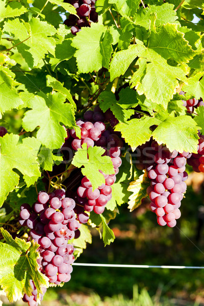 grapevine in vineyard (gewurztraminer), Alsace, France Stock photo © phbcz