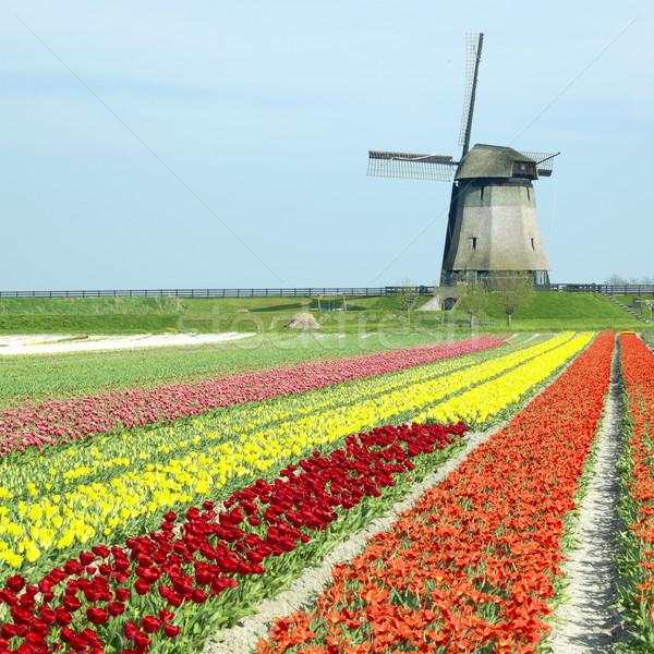 Photo stock: Moulin · à · vent · tulipe · domaine · Pays-Bas · fleurs · printemps