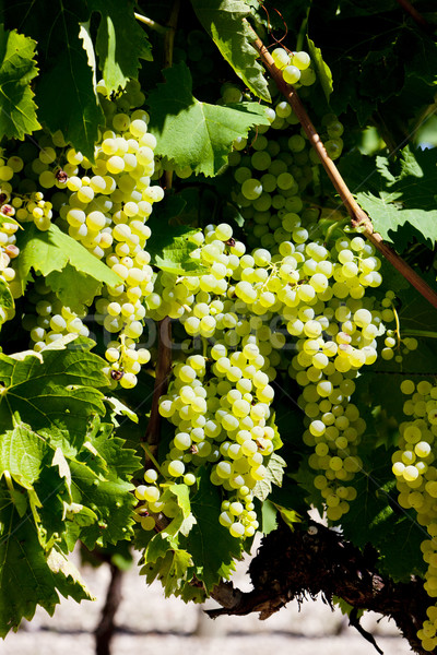 white grape in Jarnac, Poitou-Charentes, France Stock photo © phbcz
