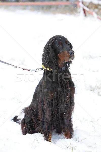Vergadering jachthond sneeuw spel huisdier buitenshuis Stockfoto © phbcz