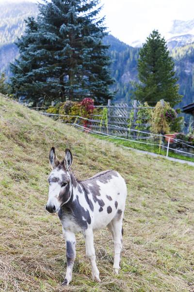 Eşek çayır İsviçre hayvan bir Stok fotoğraf © phbcz