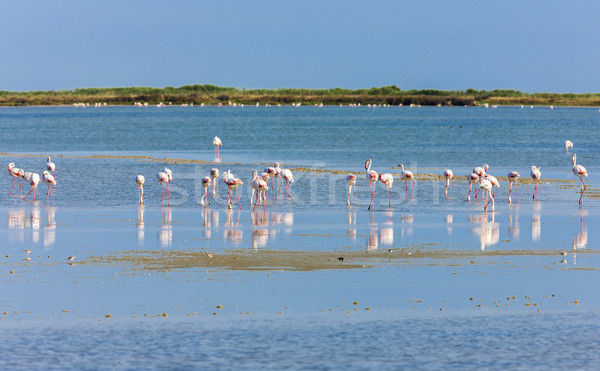 França natureza pássaro viajar europa flamingo Foto stock © phbcz