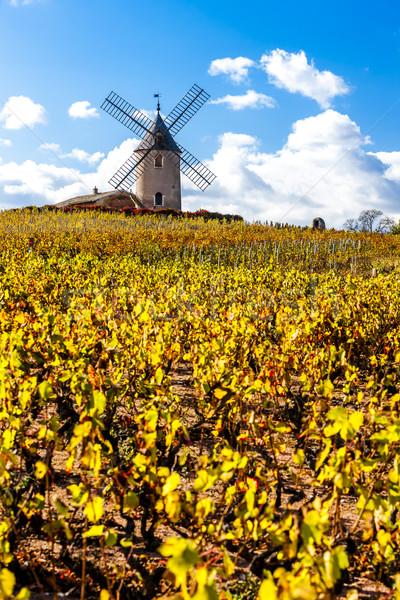 vineyard with windmill near Chenas, Beaujolais, Rhone-Alpes, Fra Stock photo © phbcz