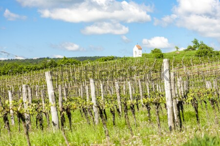 spring vineyard near Hnanice, Southern Moravia, Czech Republic Stock photo © phbcz