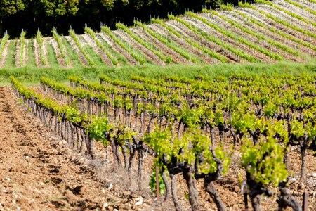vineyard on Cote Vermeille near Port-Vendres, Languedoc-Roussill Stock photo © phbcz