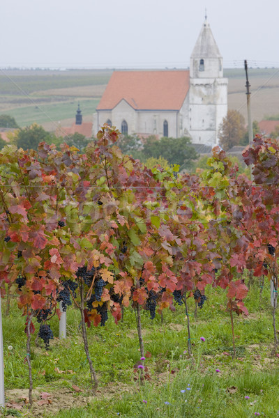 vineyard, Hnanice, Czech Republic Stock photo © phbcz