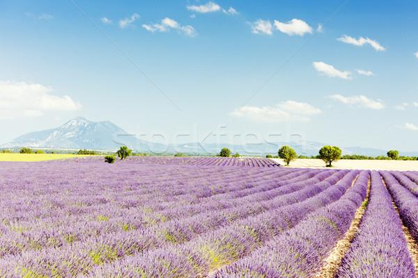 Campo de lavanda planalto França paisagem planta lavanda Foto stock © phbcz