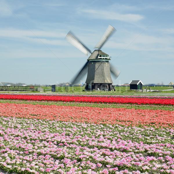 Moulin à vent tulipe domaine fleurs printemps nature Photo stock © phbcz
