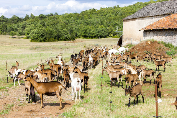 herd of goats on pasturage, Aveyron, Midi Pyrenees, France Stock photo © phbcz