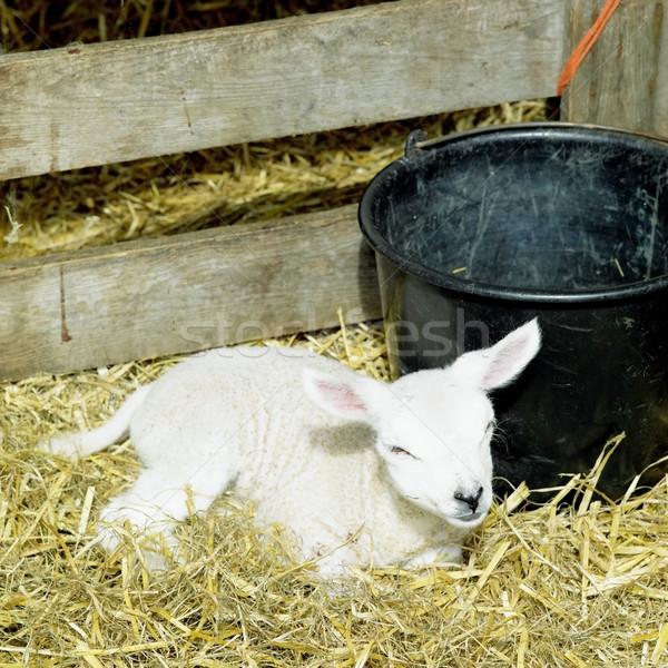 lamb, Den Hoorn, Texel Island, Netherlands Stock photo © phbcz