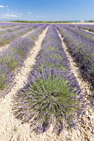плато Франция пейзаж завода лаванды Сток-фото © phbcz