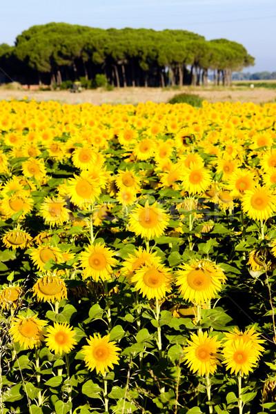 sunflower field, Zamora Province, Castile and Leon, Spain Stock photo © phbcz