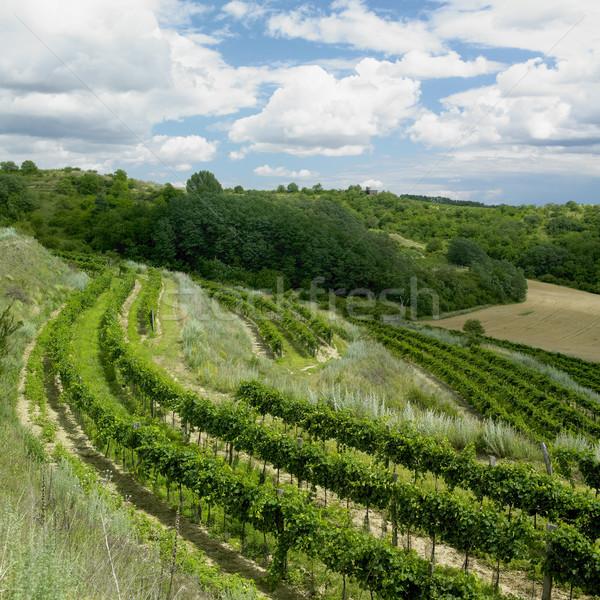 vineyards, Czech Republic Stock photo © phbcz