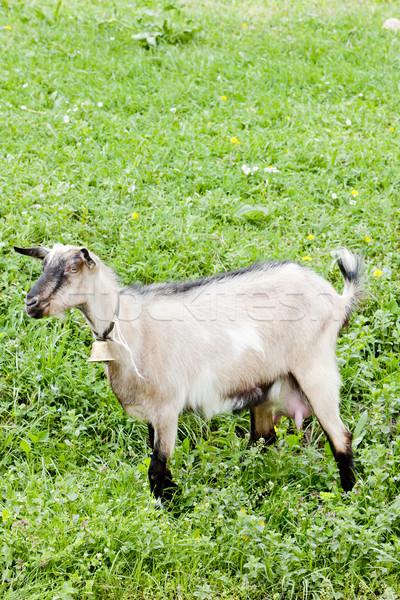goat on meadow Stock photo © phbcz