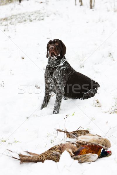 Jachthond sneeuw spel vergadering huisdier Stockfoto © phbcz