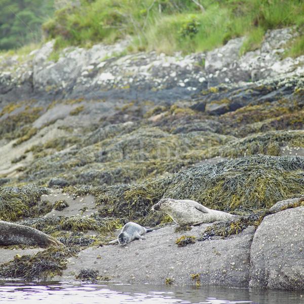seals, Bantry Bay, County Cork, Ireland Stock photo © phbcz