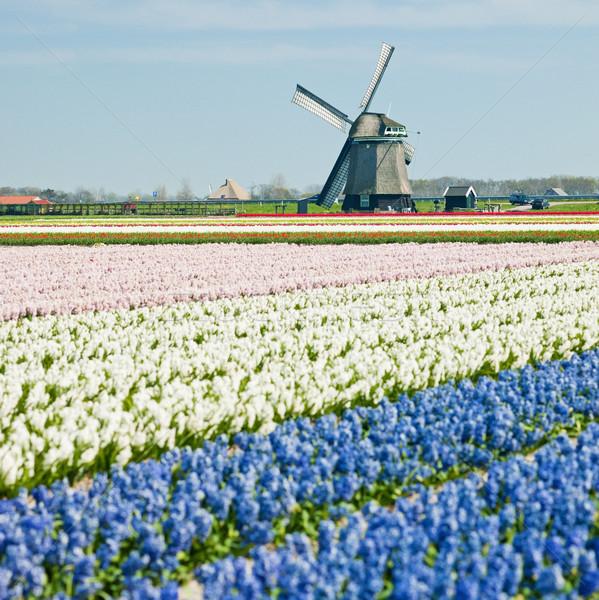 windmill with hyacinth field near Sint-Maartens-vlotbrug, Nether Stock photo © phbcz