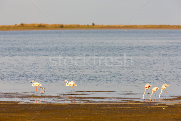 flamingos in Camargue, Provence, France Stock photo © phbcz